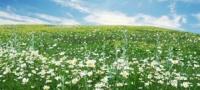 Wiesengräserdermatitis